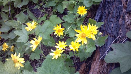 Arnica Flower Pic